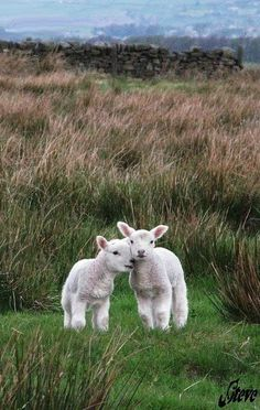 Lambs touching heads as they walk through the grassy field