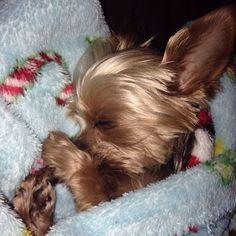 Yorkie- Lolly the Yorkie, sweet dreams #yorkshireterrier