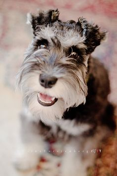The sweet little face of an adorable little mini schnauzer, it tugs on your heart strings