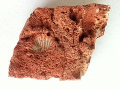 Great idea for elementary teachers teaching geology, or that young paleontologist!  Awesome ebay find! Large rusty orange conglomerate rock with shell scallop fossils imprints school