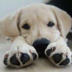 How cute was that..!! #labrador
