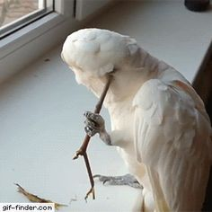 Scratching an itch - Find and Share funny animated gifs gif~ Scratching an itch. Humans seem to think we are set apart from other animals because we use tools. here's another example of that misconception Funny Birds, Cute Birds, Pretty Birds, Cute Funny Animals, Funny Animal Pictures, Beautiful Birds, Funny Cute, Animals Beautiful, Budgies