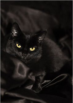 Some people think black cats are bad luck. The only bad luck is missing out on the blessing of adopting a black cat. I love my black cat! I Love Cats, Cute Cats, Funny Cats, Beautiful Cats, Animals Beautiful, Cute Animals, Black Animals, Hello Beautiful, Crazy Cat Lady