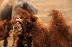 A young camel in the Mongolian Gobi www.stonehorsemongolia.com