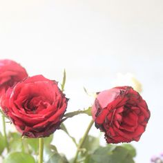 Roses are red, Loving him was red! #roses #flowers #red #redrose #redroses #redflower