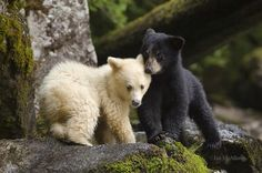 """Spirit Bear and Black Bear Cubs The Kermode bear (Ursus americanus kermodei), also known as the """"spirit bear"""", is a rare subspecies of the American black bear Cute Baby Animals, Funny Animals, Wild Animals, Baby Pandas, Baby Bears, Teddy Bears, American Black Bear, Black Bear Cub, Cute Bear"""