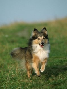 I know this sheltie look. Happy dog!