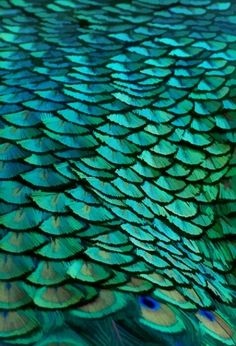 Turquoise and blue peacock feathers.