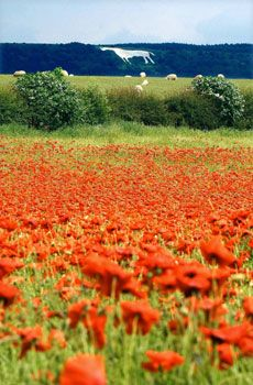 Poppy fields in Thirsk. This stunning picture shows a rarely seen image of red poppies growing in a field as sheep graze nearby. Wiltshire, UK