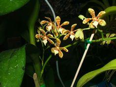 HOA GIEO TỨ TUYỆT 2 - Page 55 26522b345afc2a049d59c7e30828a6b9--orchidaceae-orchids