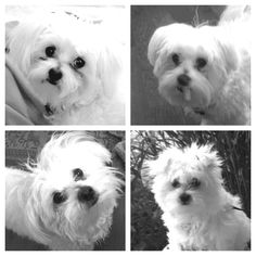 Maltese the many faces of snowy...
