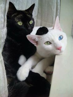 "The white cat reminds me of Asuna from ""Mahou Sensei Negima!"" because of the 1 blue eye, 1 green eye :D"