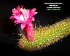 Hildewintera cv 'Weixdorf' (Bloom side view)