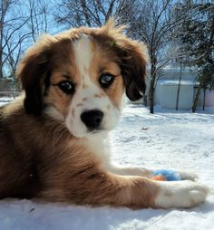 My Baby :] Border Collie / Cocker Spaniel Mix Source by stephgulie Cute Puppies, Cute Dogs, Dogs And Puppies, Doggies, Aussie Puppies, Charles Spaniel, Cavalier King Charles, Cocker Spaniel Mix, Cockerspaniel