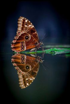 reflection butterfly by Nᴏʀʙᴇʀᴛ Lɪᴇsᴢ on Beautiful Bugs, Beautiful Butterflies, Dragonfly Insect, Sting Like A Bee, Flying Flowers, Moth Caterpillar, All Gods Creatures, World Of Color, Butterfly Wings