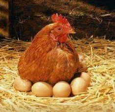 Todas las gallinas son ponedoras, pero si se quiere tener gallinas muy eficaces en la reproducción, se deben tener ciertos cuidados como ofrecerles una buena alimentación, hacerlas sentir cálidas y tener en cuenta su edad. Muchas personas crían gallinas en sus casas o tienen una pequeña granja de aves de corral. Todas las gallinas son…
