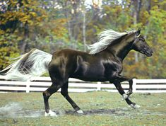 "Lee's Rock-it"" is a chocolate stallion with white mane and tail who has been the Kentucky State Champion twice. - photo from Classic Farm, Breeders and Trainers of Top Quality Kentucky Mountain Saddle and Rocky Mountain Horses Horses And Dogs, Cute Horses, Horse Love, Most Beautiful Horses, All The Pretty Horses, Beautiful Creatures, Animals Beautiful, Cute Animals, Majestic Horse"