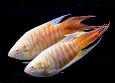 Peixes Ornamentais: Peixes que não precisam de bomba de oxigenação além do Betta
