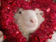 Home - Sweet Pea & Friends Farm Animals, Funny Animals, Cute Animals, Animal Antics, Counting Sheep, Love And Respect, Cover Photos, In This World, Funny Pictures