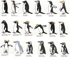 All 17 species of penguin!