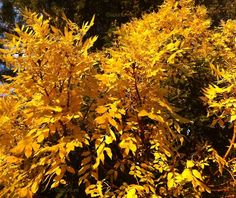 #melbourne #autumn #leaves #yellow
