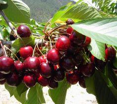 Cómo plantar un cerezo. Si deseas plantar un árbol de cerezo, aquí tienes los pasos que debes seguir. Los cerezos son árboles que aportan deliciosas y dulces frutas y que además son muy decorativos para cualquier jardín. Par...