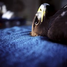 Golden Eagle in the Medroom by annie marie musselman