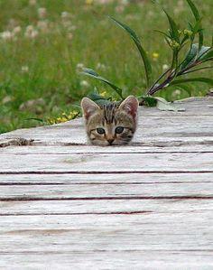 Curiosidade felina