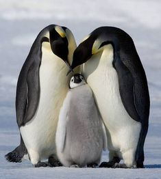 Penguin Photos, Prints, Paintings & Wall Art for Sale Artic Animals, Animals And Pets, Baby Animals, Funny Animals, Cute Animals, Penguin Pictures, Penguin Love, Baby Penguins, Majestic Animals