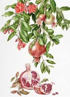 Pomegranate, Punica granatum by Akiko Enokido