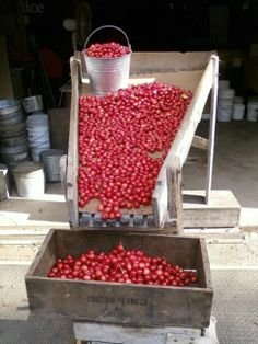 Sorting cherries --