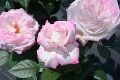 With its strong citrus scent and exhibition-type roses, 'The Best Kept Secret' won't be a secret for long. This bushy hybrid tea grows to 4 feet tall.