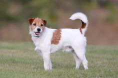 Welcome to Tobin Jack Russell Terriers - Home