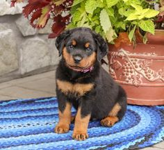 Lancaster Puppies, Rottweiler Puppies, Animals Dog, Fun Loving, Cuddles, Puppies For Sale, How To Be Outgoing, Mans Best Friend, Kisses