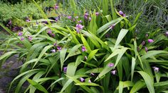 Bletilla-- This exotic-looking perennial, also called hardy ground orchid, flowers in early spring in white, purple and various shades of pink. The blooms often last up to six weeks. It's a pretty, unusual landscape plant for warmer climates, or it can be overwintered indoors if planted in containers.