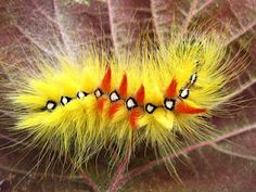 i'm a shining star, no matter who you are!  The Fiery and Furry Sycamore Moth Caterpillar