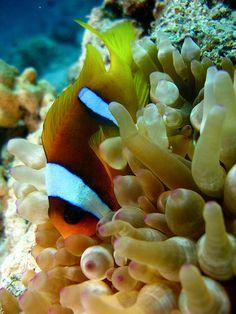 Red Sea Anenome fish - Egypt