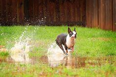 Adorable Boston Terrier blog at kevinandamanda.com