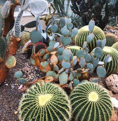 Repost from @eliz_vogt #alive #cacti #cactus #cactusart #cactusclub #cactuslove #cactusgarden #cactusofinstagram #cactusmovement #cactusfamily #barrelcactus #thenewyorkbotanicalgarden #garden #beautiful #instacactus #instagarden #kaktus #kaktüs #lovecactus #naturesbeauty #peace #sharing #wow