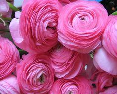 Ranonkel roze