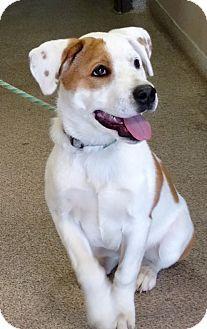 I am at a high kill shelter in Troy, OH - Labrador Retriever Mix. Meet Elmer, a puppy for adoption. http://www.adoptapet.com/pet/17898255-troy-ohio-labrador-retriever-mix