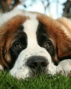 10 Saint Bernard Mixes: Your Saintly Shadow & Steadfast Sidekick! Cute Puppy Breeds, Cute Puppies, Dog Breeds, Dogs And Puppies, Cockapoo Puppies, Dachshund Puppies, Pet Dogs, Labrador Puppies, Samoyed Dogs