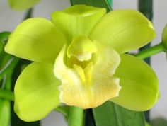 Mini Green Cymbidium Orchid-  blog.albertsflorist.com
