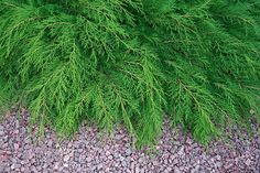 11 Best Evergreen Ground Cover Plants That Make Your Garden Look Greener & Better Evergreen Ground Cover Plants, Evergreen Garden, Buy Plants, Large Plants, Pool Plants, Types Of Soil, Types Of Plants, Evergreen Groundcover, Blue Fescue