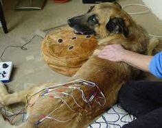 Tratamiento de un perro con electroacupuntura.