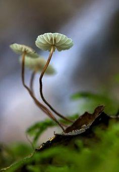 Horsehair fungus