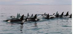 Large group of the Northern Resident Orca population
