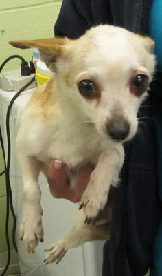 Meet 50  Josephine a Petfinder adoptable Chihuahua Dog | Canton, OH | Picked up as a stray on 5/21.  Available on 5/27.   $ 86.00 fee includes OH license, DA2PP,...