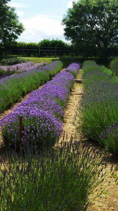 Lavender fields, Norfolk. Photo by Christine Gittins