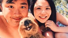When the quokkas moved into the only settlement on the Australian island of Rottnest they started behaving much like any newcomers to a big city: they ate bad food, had more sex and drank more than...